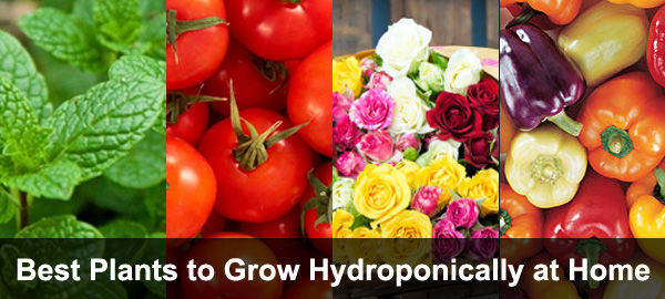 13 Plants You Can Grow Hydroponically